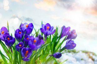 nhuy hoa nghe tay 375747505 750x400 310x205 - Nhụy hoa nghệ tây: Thảo dược cho sức khỏe và sắc đẹp